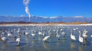 御宝田遊水池の白鳥