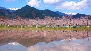松川村の桃の花